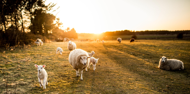 Schaf schlachten Tiere